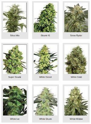 Diverse Cannabis Samen