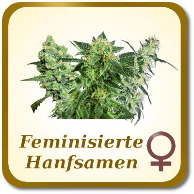 Feminisierte-Hanfsamen