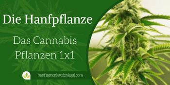 Die Hanfpflanze – Das Cannabis Pflanzen 1×1