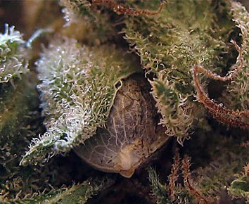 Hanfsamen in Blüte gereift
