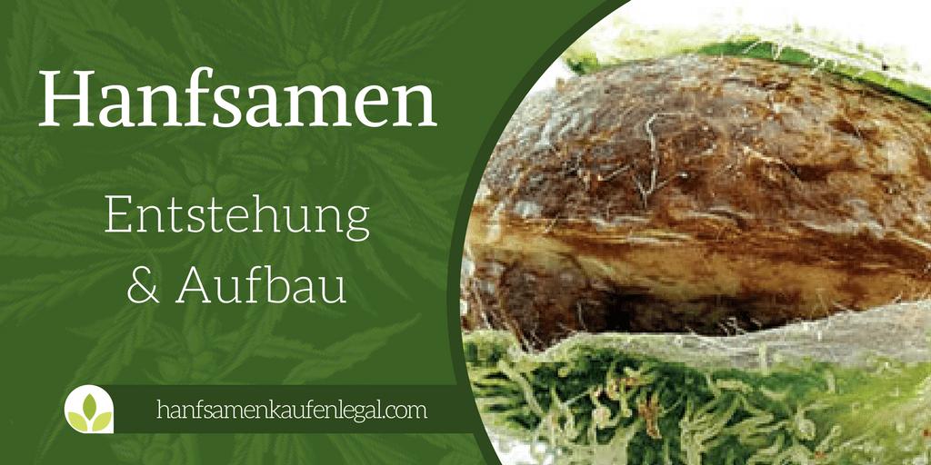 Entstehung, Aufbau und Anatomie Hanfsamen - Cannabis Samen