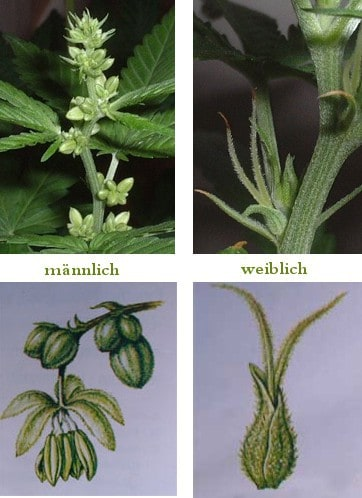 hanf samen die entstehung einer cannabispflanze. Black Bedroom Furniture Sets. Home Design Ideas