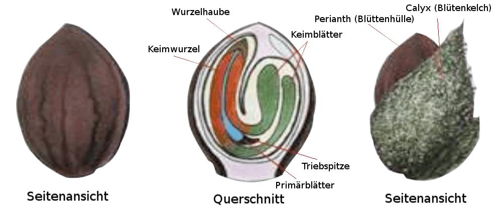 hanfsamen anatomie