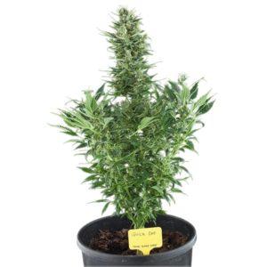 Cannabis Pflanze kaufen