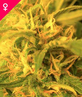 northern-lights-feminized-image