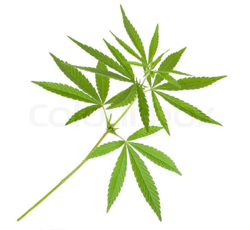 Cannabis Klone