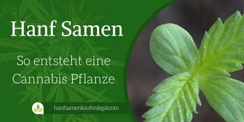 Hanf Samen – So entsteht eine Cannabis Pflanze