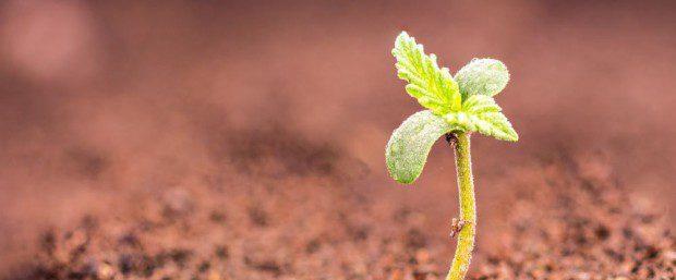 kleine cannabis pflanze