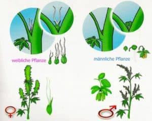 Vorblüte weibliche & männliche Hanfpflanze