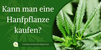 Kann man eine Hanfpflanze kaufen?