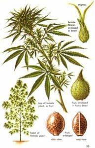 Hanfsamen Cannabis