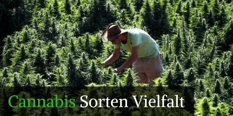 Cannabis Sorten - Marihuana Sorten