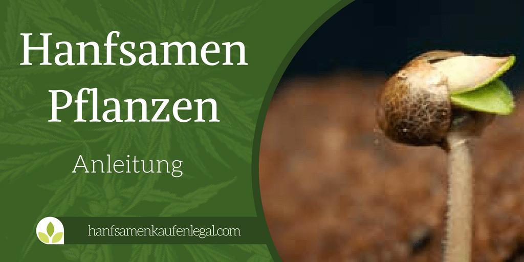 Hanfsamen pflanzen