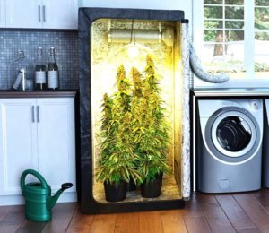 Cannabis Indoor Growing