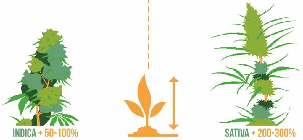 Sativa & Indica Wachstum
