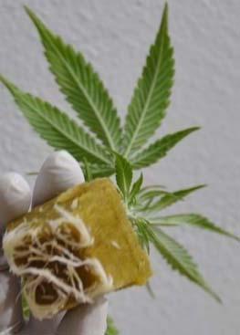 Marihuana Klone