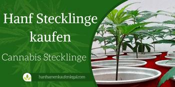Cannabis Stecklinge kaufen & Marihuana Pflanzen
