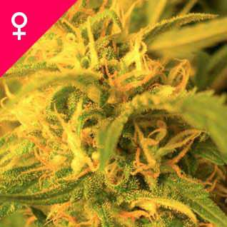 Northern Lights Feminisiert