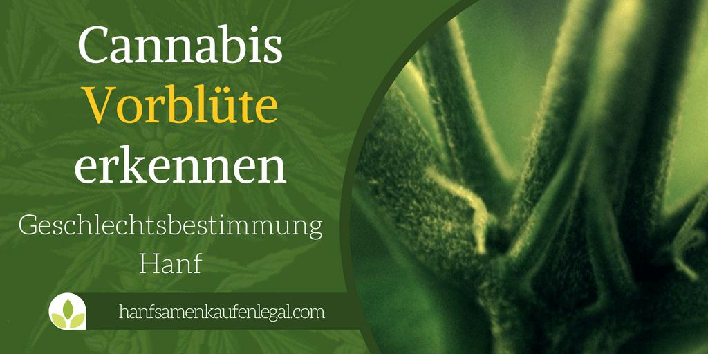 Cannabis Vorblüte erkennen