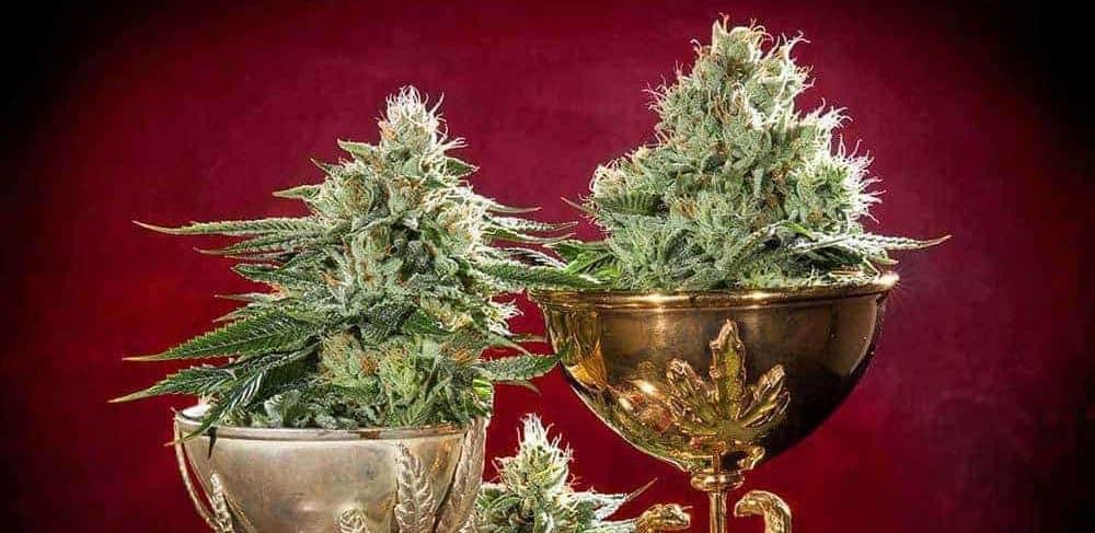 Cannabis Cup Auszeichnungen für AK Sorten