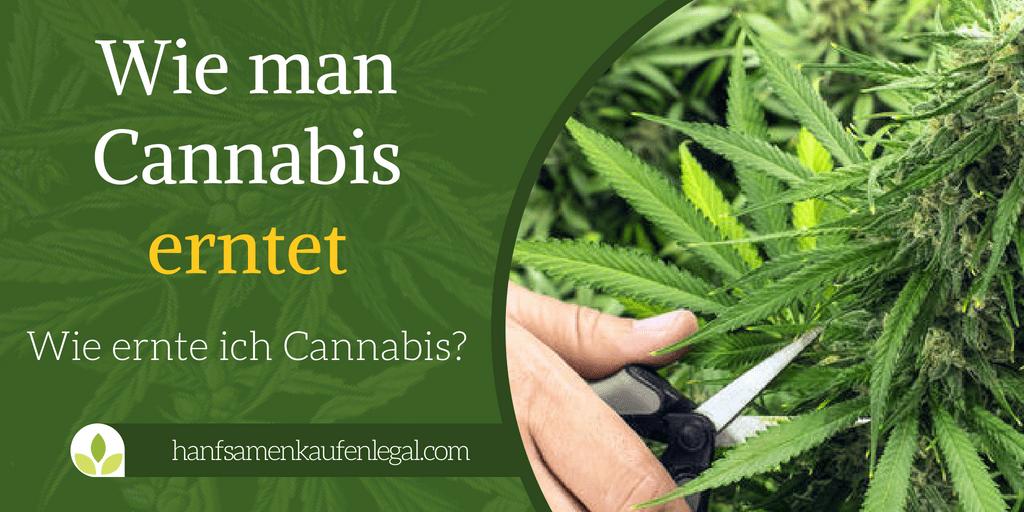 Wie man cannabis erntet