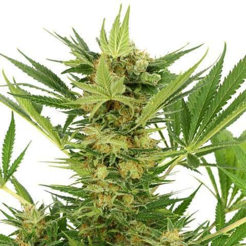 AK47 cannabis samen