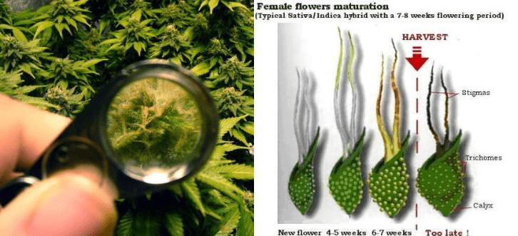 weibliche cannabis blüten ernten