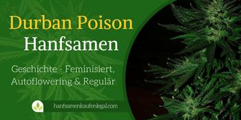 Durban Poison Hanfsamen – Sorten Geschichte – Feminisiert, Autoflowering & Regulär