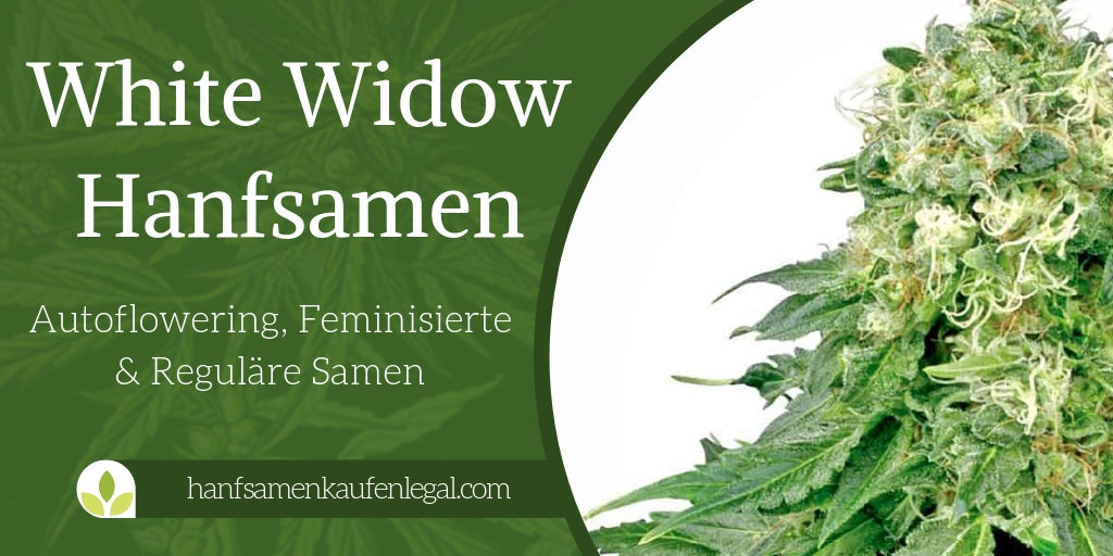 White Widow Hanfsamen